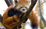 高清動物美圖:浣熊