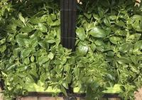 陽臺種菜:穿心蓮的功效很多,不僅可以入藥還可以入菜!