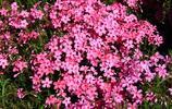 來自日本東瀛的花,似櫻花非櫻花的芝櫻花