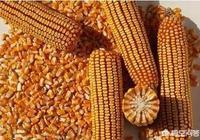19年12月份新玉米上市價會如何?