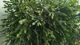 花18年養了一株蟹爪蘭,種一棵葉仙準備嫁接,長了3年開花挺好看