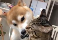 柴犬也成為了貓奴,瘋狂吸貓,最終慘遭喵大佬毆打