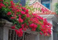 院子裡此花要種2棵,就算貴一點也要種,一年花開230天,好看極了