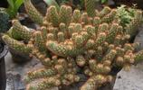 植物圖集:金手指植物美圖