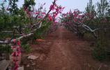 山東濟南農村種植的桃樹,像這樣美得的你見過嗎?真美