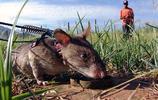 """掃雷""""低手""""非洲巨鼠,小身軀做大用處"""