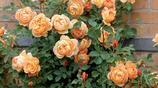 這些爬藤植物長成一面花牆,讓你的庭院美翻變成小花園
