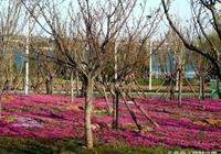 """快來這裡看花海:淄博文昌湖""""知音""""花海在等您"""