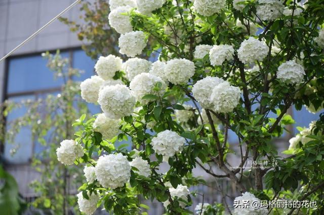 一棵中華木繡球的成長 | 園丁