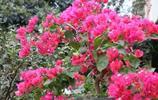 別再養綠蘿吊蘭了,此花漂亮且好養,扔土裡就能活,全年花開不斷
