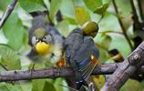 動物圖集:紅嘴相思鳥