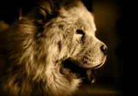 飼養松獅犬不得不知的,6個小常識!