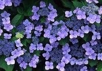 金牛座幸運花之一紫羅蘭