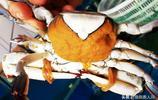 一組梭子蟹等螃蟹照片,你就能看出休漁期到底多重要