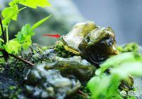 春天採野菜,你認識蛤蟆皮嗎?怎麼個吃法?