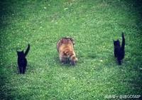 失明的浣熊為它的人類朋友帶來了一對黑貓,它走了,黑貓有家了