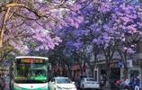這個季節在雲南昆明,有這樣一條開滿藍色鮮花的街道你知道嗎