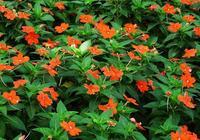 農田邊常見,花色多的鳳仙花養在家裡,盆景的美感真別緻!