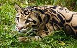 動物圖集:一級保護動物 雲豹
