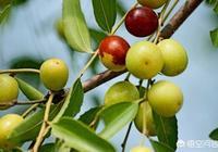 農村兒時的記憶裡,你吃過山裡最難忘的野生果子是什麼?
