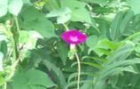 紫色牽牛花,紫色小喇叭