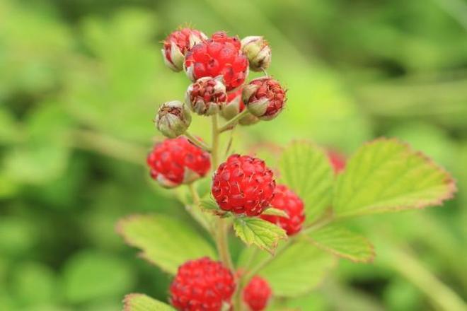 植物圖集:山莓