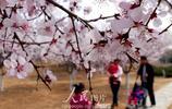 北京老山郊野公園桃花盛開 迎來最佳觀賞期