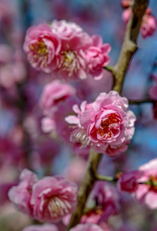 圖蟲靜物攝影:北京明城牆遺址公園花卉(2)2019-3-12