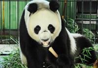 """大熊貓""""白雪"""",受驚嚇拖飼養員幾米重摔在地逃跑,受傷了又回來"""