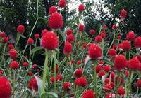 如果庭院裡還有若干小地方,不妨試試種一下千日紅~!
