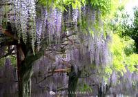 紫色的雲裳——賞紫藤花