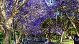 悉尼春天的顏值擔當 毫無疑問就是當下盛開的藍花楹