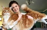 這隻14公斤的緬因貓,比主人半個還大,吸一隻巨貓是什麼感受?