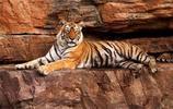 這隻母老虎活了19歲能咬死鱷魚,憑空消失7天后人們自發為其送行