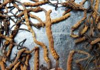 深圳嘉年華-冬蟲夏草是蟲還是草