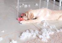 小狗在家裡拆家,主人說要把它丟出去,狗媽媽的舉動讓人感動