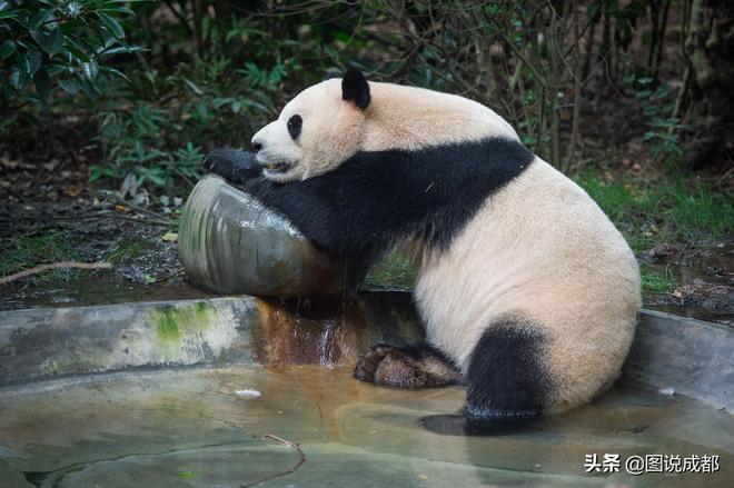 """大熊貓也熱""""癱""""了,成都最高溫破35℃,熊貓""""癱睡""""萌化遊客"""