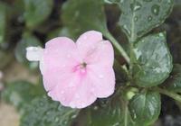 鳳仙花怎麼養開花多 鳳仙花不開花原因及解決方法看這裡