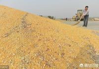 玉米價格這兩天不斷上漲,玉米價格迎來了春天了嗎?