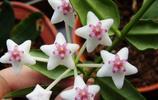 花世界花集|球蘭の花語:青春美麗