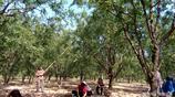 黃河邊的這個村裡有明清古棗林4000畝,500年以上的古棗樹5萬多株
