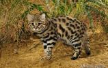 BBC《大貓》一出,這個體型最小的貓科之一的貓又火了一把