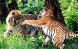 老虎當模特