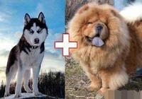 哈士奇和鬆獅生的混血狗狗,外表像鬆獅,內心卻是哈士奇