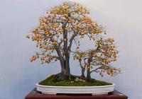 家養老鴉柿盆景為何掛果不佳?這幾點養護栽培技巧你平時注意了嗎