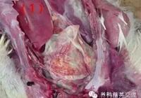 鴨鵝大腸桿菌病的防治