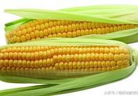 玉米,改善糖耐量,輔助糖友控糖!