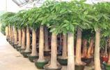 植物圖集:發財樹植物美圖