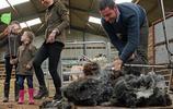 威廉凱特身穿情侶衫參觀農場 親手剪羊毛凱特秒變小女孩