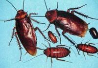 夏季家裡蟑螂再多也不要踩,只需簡單一招,家裡蟑螂斷子絕孫!